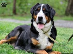 Greater Swiss Mountain Dog Husky Mix - via Dog & Cat Pictures Gallery http://ift.tt/1NYIRwX