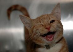 """""""An orange cat winking, with its mouth open to the camera."""" (quote) via attackofthecute.com"""