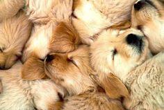 Golden Retriever Puppies - Dr. Odd