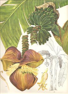 Japanese Banana Flower South East Asia Botanical Exotica Vintage Illustration To Frame 123 Vintage Botanical Prints, Botanical Drawings, Botanical Art, Vintage Art, Illustration Botanique, Illustration Art, Asian Plants, Impressions Botaniques, Banana Flower