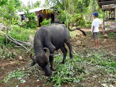 Carabao in the countryside of Camotes, July 8th
