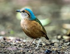 Blue-rumped Pitta (Pitta soror)
