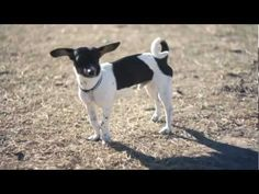 Puppy With Big Ears Plays at the Park