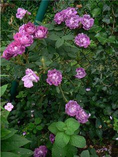 """Moss Rose - William Lobb """"Old Velvet Moss"""""""