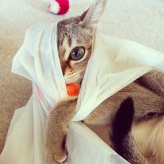 Tomboy(* ̄∇ ̄) #singapura#猫#cat#ねこ#kitty#neko#catsofinstagram#catstagram#iPhonesia#instagood#tweegram#love#iphonesia#photooftheday#girl#cute#instamood#up - @_sol_yoco- #webstagram