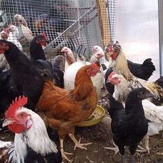 Савельев Андрей (@savelev.andrey.kzn) • Фото и видео в Instagram Rooster, Animals, Animales, Animaux, Animal, Animais, Chicken