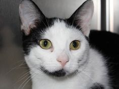 Meet Moo, an adoptable Domestic Short Hair-black and white looking for a forever home. If you're looking for a new pet to adopt or want information on how to get involved with adoptable pets, Petfinder.com is a great resource.