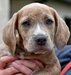 Ariel, 3-month female Boxer & Beagle Mix.  dogsandpupsdaily