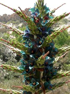 Puya alpestris Turquoise Metallic Flowers. The plant kingdom at its flamboyant best.  The highly ornamental Sapphire Tower is a hardy bromeliad relative native to regions of Argentina and Southern Chile along the slopes of the Andes Mountain Range.