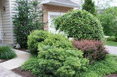 Pinus strobus 'Nana' Dwarf Pine Tree (Bush?)
