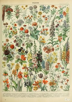 Adolphe Millot - Illustration for the article on flowers (fleurs) in Nouveau Larousse illustru00e9, 1898-1904. This is one of four plates. Large HQ. Click on the image and read it online.