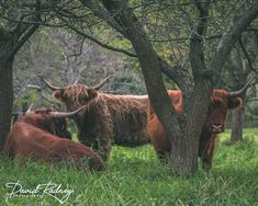 We have Grass Fed Beef. We never use antibiotics or growth hormones. Our animals graze freely on open pastures, enjoying life outdoors as they were meant to. Highland Cattle, Enjoying Life, Growth Hormone, Grass Fed Beef, David, Outdoors, Meat, Plants, Photography