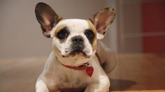french bulldog. I'm going to have to have a lot of pets....