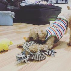 ᶠᴿᴵᴰᴬʸ ᴹᴼᴿᴺᴵᴺᴳ ¨̮ 日本のばあばとじいじから荷物が届いたよ 朝から新しいおもちゃ3つも貰ってHappyなジャック ...................................................... #newtoy #hawk #chick #🐩 #lovepuppy #excellent_dog #bestwoof #dog #toypoodle #puppy #fluffy #dogoftheday #dogsofinstagram #dogstagram #instadog #いぬら部 #わんこ #トイプードル #プードル #貴賓犬 #푸들 #ふわもこ部 #愛犬 #写真好きな人と繋がりたい #radicaおともだちワンコ