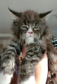 This kitty should be waaay more popular than Grumpy cat