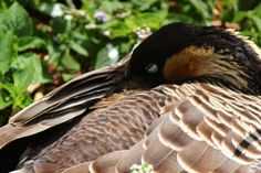 a sleepy Nene or Hawaiian goose at Kilauea Lighthouse