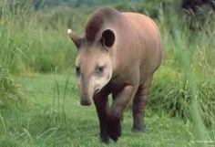 Resultado de imagem para imagens animais fauna brasileira