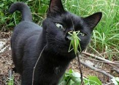 Black cat and the grasshopper