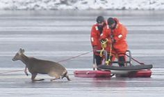 Waltham firefighters rescued a deer stranded on the ice at the Cambridge Reservoir in early January but the animal was in such poor condition after it had to be euthanized.