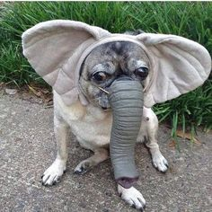 Awesome funny pugs detail is readily available on our web pages. Read more and y… Awesome funny pugs detail is readily available on our web pages. Read more and you will not be sorry you did. Cute Pugs, Cute Funny Animals, Cute Baby Animals, Animals Dog, Pug Puppies, Pet Dogs, Pets, Silly Dogs, Funny Dogs