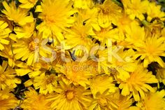 A mass planting of Dandelion Flowers make a beautiful bright yellow. Dandelion Flower, Flower Backgrounds, Flower Making, Image Now, Royalty Free Stock Photos, Yellow, Flowers, Plants, Beautiful