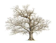 Images For > Oak Tree Fall Drawing