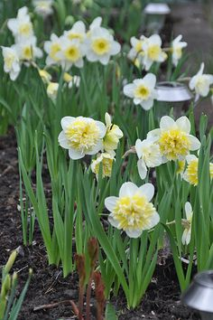 narcissus 'Ice King' and 'Ice Follies'