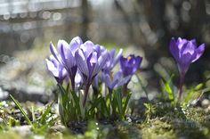 Crocus My Spring, Spring Time, Spring Photos, Violet, Purple, Blues, Spring, Purple Stuff