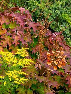 Hydrangea quercifolia (Oakleaf hydrangea), Juniperus squamata 'Holger' (Holgers Juniper) and Solidago (Goldenrod)