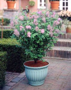 Bloomerang Purple Lilac, Syringa x Bloomerang PPAF The Sweetest-Smelling, Longest-Lasting Lilac Blooms H: 4-5 ft, W: 4-5 ft, Spacing: 4-5 ft. Full to Partial Sun Blooms: Spring, Summer, Fall Very long-lived, mildew-resistant and once mature should require little to no pruning