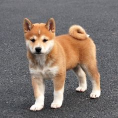 Shiba Inus are confident, courageous, kind and loving.