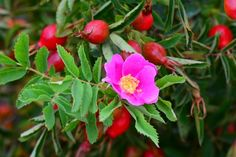 Prickly Rose - Both flower and fruit at same time. E-Flora BC Atlas