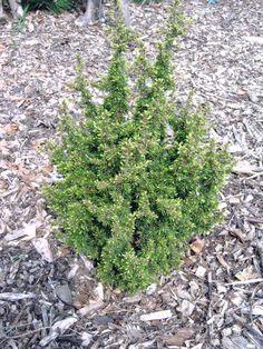 Cedrus brevifolia Kenwith