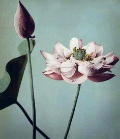 小川 一眞 Ogawa Kazumasa (1860 - 1929)蓮 Lotus Flower