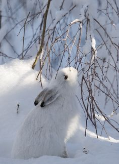 Winter Hare!
