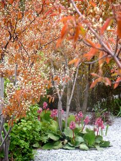 Amelanchier alnifolia + uppstammad - Google Search