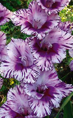 Passos Hybrid Gladiolus | k van Bourgondien