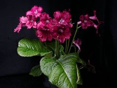 Streptocarpus 'Cranberry Crush'