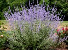 During the precious few moments when the hoses are not in our hands, we Southern gardeners pass the scorching days of summer comparing notes about what plants - if any - are still thriving in the sometimes triple-digit heat. My answer never changes: Russian Sage. drought-tolerant lavender beauty to American gardens for many years. It is hardy to Zone 5 (at least - probably colder), requires little care and is a non-stop bloomer.