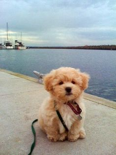 "Cute puppy and dog: Precious! ""It's called the ""teddy bear dog"". Half shih-tzu and half bichon frise."