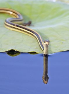 ribbon snake by Sun Wendy Rain