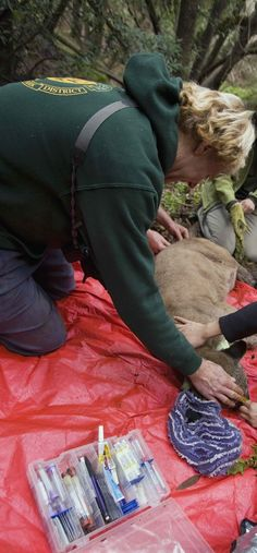 Steve Bobzien getting ready to fit a female puma with a GPS collar