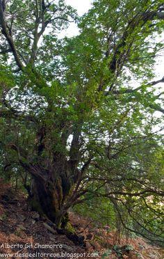 Uno de los más impresionantes Árboles Singulares de Extremadura es la tremenda Madroña de Guijarroblanco, cerquita de la alquería de El Castillo, perteneciente a Pinofranqueado. La foto la hizo D. Alberto Gil Chamorro, autor de un estupendo libro sobre los árboles singulares de Extremadura. Podéis seguirle en su Blog: http://desdeeltorreon.blogspot.com.es/