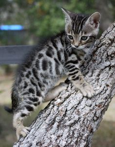 Kitty silver Bengal   #cat #kittens
