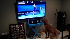 My golden retriever puppy loves watching sports, especially tennis. Here is a clip of him enjoying the Australian Open. #londatv