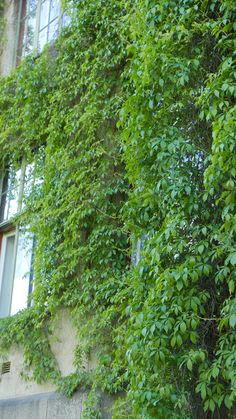 Seks kule klatreplanter du vil lykkes med - Tusenfryden Herbs, Garden, Plants, Garten, Herb, Flora, Plant, Lawn And Garden, Outdoor