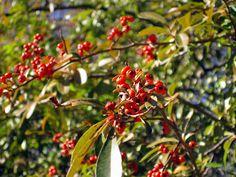 Berries, Oak CreekCanyon / Sedona AZ