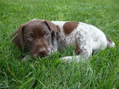 German Shorthaired Pointer. My dogs growing up. Would love to have one later on in life when I have the time. They're extremely Hugh maintenance