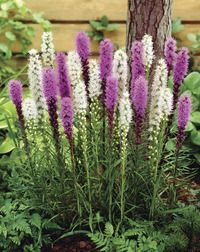 We are delighted to offer two exciting Liatris spicata varieties that produce masses of showy flowers spikes contrasting with grassy-green foliage. The bottle-brush flowers open from the top downwards in magnificent shades of mauve and white. Flowers Perennials, Planting Flowers, White Flowers, Beautiful Flowers, Tiny Flowers, Purple Flowers, Summer Bulbs, Spring Hill Nursery, How To Attract Birds