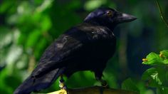 Crow demonstrates just how intelligent it is by solving a puzzle - http://uciki.com/2015/04/13/crow-demonstrates-just-intelligent-solving-puzzle/ - #Animals, #Incredible